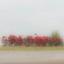 연상홍이 피어있는 풍경